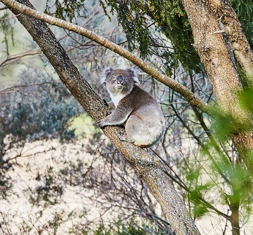 carousel koala