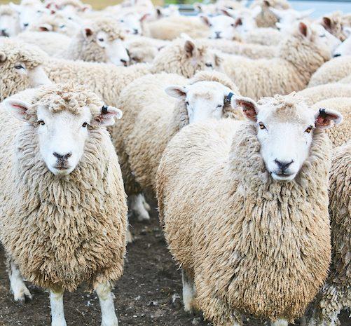 carousel sheep